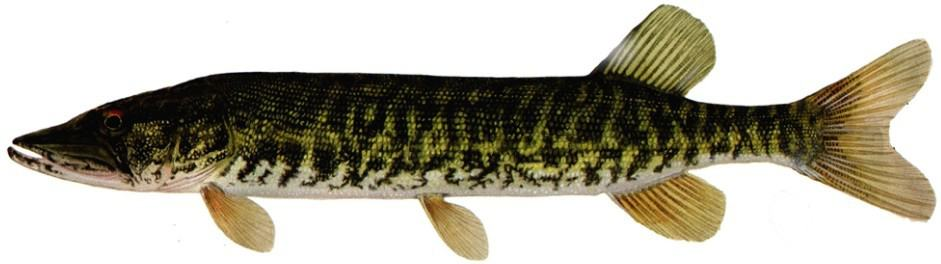 American grass pickerel