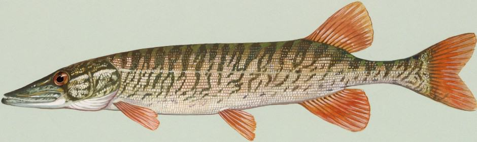 American redfin pickerel